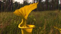 Yellow Pitcher Plant With Field Behind,Sarracenia Flava