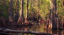 Okefenokee Swamp, Cedars