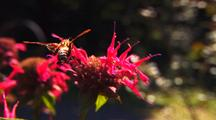 Clearwing Hummingbird Moth On Flowers