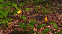 Yellow Lady Slipper Orchids In Forest