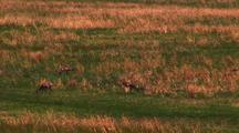 Red Fox Walks Through Herd Of Grazing White-Tailed Deer