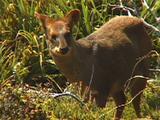 Pudú (Pudu Pudu), Deer.
