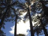 Looking Up, Circular Pan Of Monkey Puzzle Trees