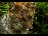 Darwin's Fox Moves Around Forest