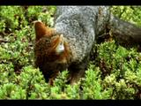 Darwin's Foxes Feed Among Low Plants