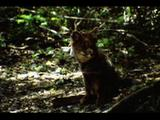 Darwin's  Fox Rests In Forest