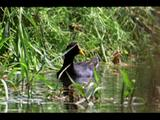 Red Fronted Coots