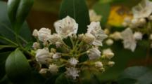Time Lapse Mountain Laurel Flowers Opening