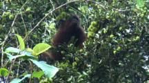 Orang Utan Eating Rambutan From Tree