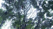 Orang Utan Hanging On Tree
