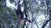 Orang Utan Eating Leaves On Tree