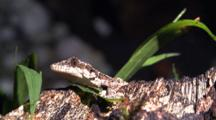 Flying Gecko Resting On Forest Floor