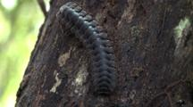 Tractor Millipede On Tree
