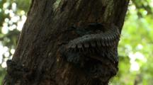 Tractor Millipede Crawling On Tree