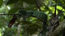 Wagler's Pit-Viper On Tree Branch