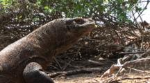 Komodo Dragon With Saliva Dripping