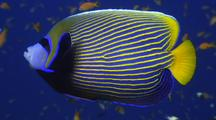 Emperor Angelfish On Reef, Maldives
