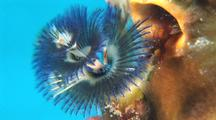 Close Up Of Christmas Tree Worm Emerging