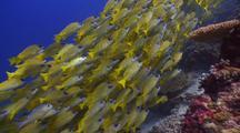 School Of Yellow Snapper, Maldives