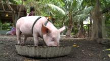Domestic Pig On Leash Eating And Scratching