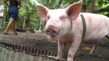 Domestic Pig On Leash Eating