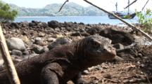 Komodo Dragon, Komodo, Indonesia