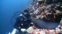 Diver Looking At A Giant Moray Eel Being Cleaned By Bluestreak Cleaner Wrasse, Surrounded By School Of Scalefin Anthias, The Maldives