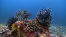 Featherstars On Reef, The Maldives