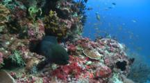 Giant Moray Being Cleaned By Bluestreak Cleaner Wrasse, Surrounded By Scalefin Anthias, The Maldives