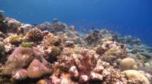 School Of Scalefin Anthias On Healthy Coral Garden, Alimatha Channel, Vaavu Atoll, The Maldives