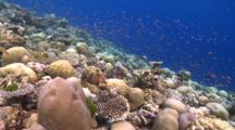 Schools Of Scalefin Anthias And Chromis On Healthy Coral Garden, Coral Grouper Swims Under Coral To Hide, Alimatha Channel, Vaavu Atoll, The Maldives