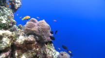 Blackfooted Anemonefish In Anemone With Threespot Dascyllus, Meemu Atoll, The Maldives