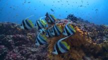 School Of Longfin Bannerfish On Coral Reef, Meemu Atoll, The Maldives
