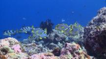 School Of Oriental Sweetlips On Reef, Vaavu Atoll, The Maldives