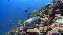 Hawksbill Turtle Feeding On Coral Reef Wall, Surrounded By School Of Scalefin Anthias, Vaavu Atoll, The Maldives
