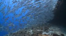 Large School Of Adult Bigeye Jacks Swimming At Coral Reef, Side View Profile, Vaavu Atoll, The Maldives