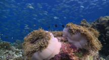 Pair Of Magnificent Sea Anemones On Reef With Schools Of Anthias And Chromis, School Of Bigeye Trevallies In Background, Vaavu Atoll, The Maldives