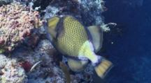 Titan Triggerfish Feeding On Coral Reef, Followed By A Checkerboard Wrasse, Vaavu Atoll, The Maldives