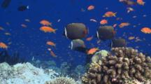 School Of Scalefin Anthias And White Collar Butterflyfish On Coral Reef, Vaavu Atoll, The Maldives