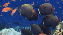 School Of White Collar Butterflyfish On Coral Reef, Surrounded By Scalefin Anthias, Profile, Vaavu Atoll, The Maldives