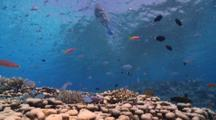 Chromis And Anthias On Coral Reef, Tourist Snorkels Through Frame On Surface, Vaavu Atoll, The Maldives