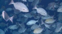 Mixed School Of Lowfin Drummers And Surgeonfish Near Surface, Vaavu Atoll, The Maldives