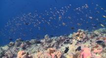 Coral Reef With Schooling Redtooth Triggerfish And Scalefin Anthias, South Ari Atoll, The Maldives
