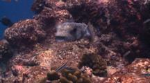 Spotted Burrfish Getting Clean At Cleaning Station, South Ari Atoll, The Maldives