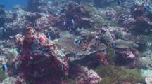 Schooling Black Pyramid Butterflyfish, Maamigili, South Ari Atoll, The Maldives