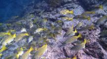 School Of Bluelined Snappers Swimming To Camera, CU, La Paz, Sea Of Cortez, Mexico