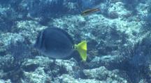 Yellow-Tailed Surgeonfish In School Of Cortez Rainbow Wrasse, La Paz, Sea Of Cortez, Mexico