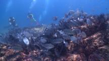 Divers And School Of Drummers, La Paz, Sea Of Cortez, Mexico
