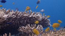 School Of Small Colourful Reef Fish Swimming Above And Hiding In Coral, Cu, The Visayas, Philippines