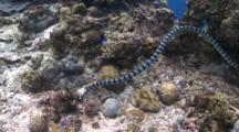 Banded Sea Krait Swimming With Scubadivers In Background, The Vsiayas, Philippines